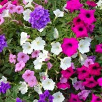 Impatiens as part of a summer container seasonal planter